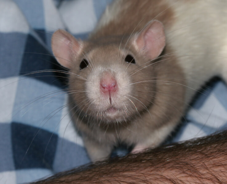 rat_whiskers_1